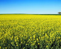 Spring Field with a Tree 2 Stock Image