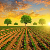 Spring field with trees Royalty Free Stock Image