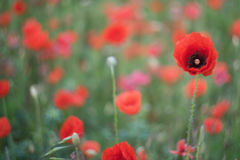 Spring field with wild poppies Royalty Free Stock Images