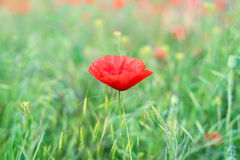 Spring field with wild poppies Royalty Free Stock Photography