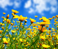 Spring field of yellow daisies Royalty Free Stock Photo