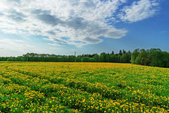 Spring field with yellow dandelions. Stock Photography