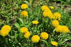 Spring field of yellow dandelions stock image
