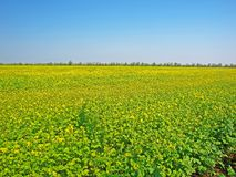 Spring field with yellow flowers Stock Photo