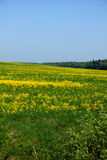 Spring field. Yellow flowers. Stock Photo