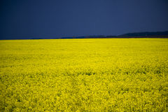 Spring field of  yellow flowers. Spring field of yellow flowers with blue sky Stock Photos