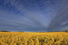 Spring field with yellow flowers Royalty Free Stock Photography