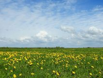 Spring field with yellow flowers, Lithuania Stock Photography