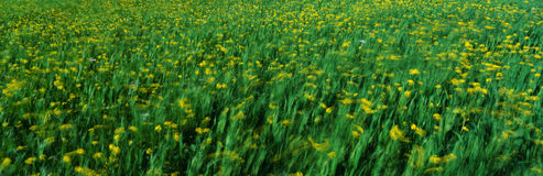 Spring field of yellow mustard plants Royalty Free Stock Image