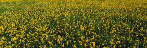 Spring field of yellow mustard seed Stock Images