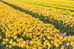 A spring field with yellow tulips Royalty Free Stock Photography