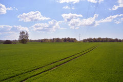 Spring field with young wheat Royalty Free Stock Image
