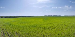 Spring field of young wheat Royalty Free Stock Photo