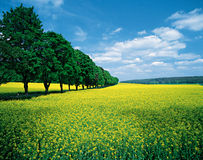 Spring fields & allee. In summer, wonderful intense colors royalty free stock photography