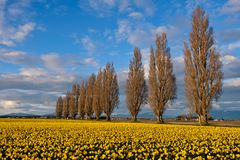 Spring fields and alley. Scenic view of  yellow daffodil fields in full bloom. Mount Vernon Tulip festival near Seattle. Washington. United States Stock Photography