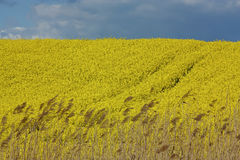 Spring fields of coles Royalty Free Stock Photos