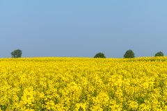 Spring fields of flowering rapeseed Stock Photo