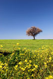 Spring fields portrait. Spring landscape - green fields, the blue sky, yellow flowers Royalty Free Stock Photo