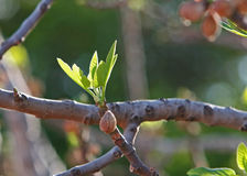 Spring fig tree. Fig sprouting leaves in spring royalty free stock photo