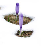 Spring fight. Spring flowers getting out of the snow Royalty Free Stock Image