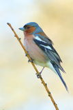 Spring finch on a branch Stock Image