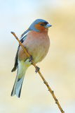 Spring finch on a branch Stock Photography