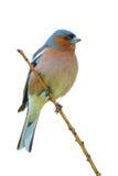 Spring finch on a branch Stock Photos