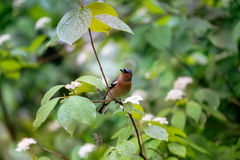 Spring. Finch sitting on a flowering branch. Stock Photography