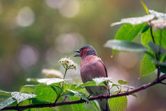 Spring. Finch sitting on a flowering branch. Royalty Free Stock Image