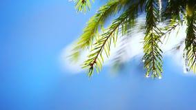 Spring fir tree footage day light. Blue sky stock video footage
