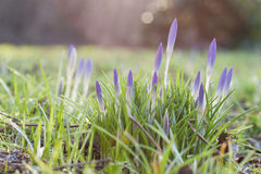 Spring. The first early-blooming flowers Royalty Free Stock Image