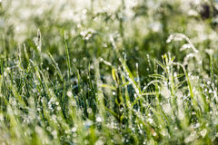 Spring first fresh green grass in the sunshine with a drop of de Royalty Free Stock Image