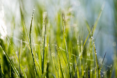 Spring first fresh green grass in the sunshine with a drop of de Stock Photos