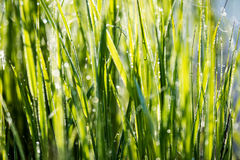 Spring first fresh green grass in the sunshine with a drop of de Stock Images