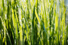 Spring first fresh green grass in the sunshine with a drop of de Stock Image