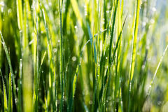 Spring first fresh green grass in the sunshine with a drop of de Stock Photo
