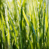 Spring first fresh green grass in the sunshine with a drop of de Royalty Free Stock Photo