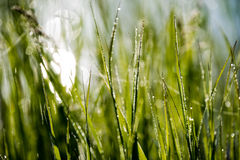 Spring first fresh green grass in the sunshine with a drop of de. W. Abstract natural background Stock Photo