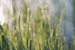 Spring first fresh green grass in the sunshine with a drop of de. W. Abstract natural background - vintage film look Royalty Free Stock Images