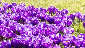 Spring first purple crocuses. First days of spring purple crocuses on the grass royalty free stock photo