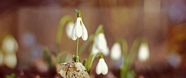 Spring of the first snowdrops. In the forest blurred background sunlight Royalty Free Stock Images