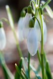 Spring first snowdrops, macro photography of white bud Royalty Free Stock Images