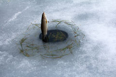 Spring fishing. Grayling fishing from melted ice hole Royalty Free Stock Image