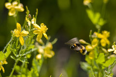 Spring flight of a bumblebee Stock Photo