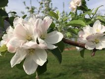 Spring Fling. Apple Blossom stock photos