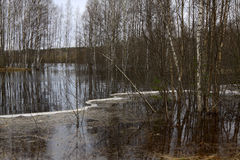 Spring flood. Birches in the water, forest lake Stock Photos