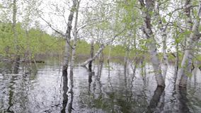 Shooting from the river during the spring flood. Spring flood in birch forest. The camera shoots from the water close to the trees.The effect of its location in stock footage