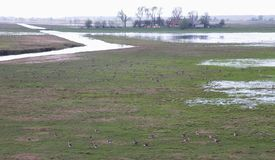 Flood field full goose bird in spring, Lithuania Stock Photo