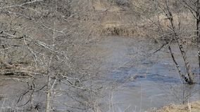 Muddy water in the river on the background of dry grass and spring trees. Spring flood on a small river, dirty water flows at high speed among the banks and stock video
