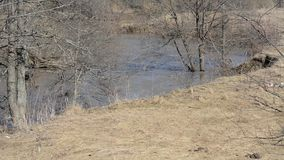 Muddy water in the river on the background of dry grass and spring trees. Spring flood on a small river, dirty water flows at high speed among the banks and stock footage
